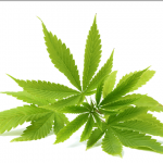 Learn More About Cannabinoids In Cannabis